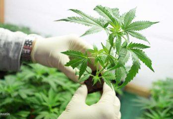 día de la marihuana