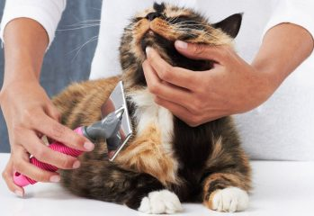 cepillar a un gato
